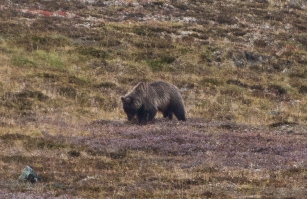 A well-camouflaged grizzly bear forages on the brown tundra.