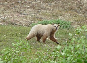 A large, pale tan grizzly walks across green grass with clumps of willows in the background and foreground