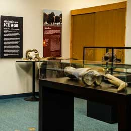 Exhibits and cases of Ice Age animals.