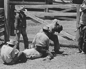 Cattle branding in West Texas, 1939