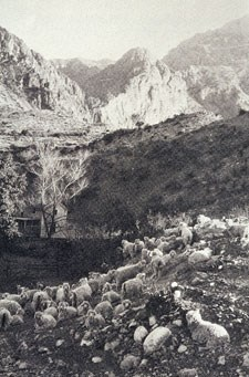 Angora sheep on the Wilson Ranch, 1930s