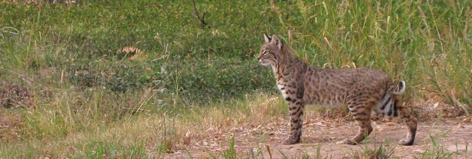 bobcats are regularly seen at Rio Grande Village