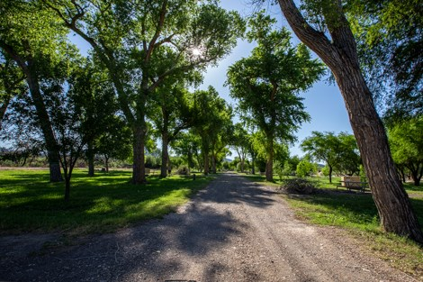 A dirt road travels underneath tall cottonwood trees.