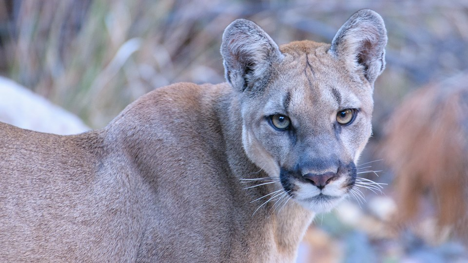 A mountain lion is standing and looking at the camera.