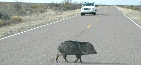 Javelina crossing a road