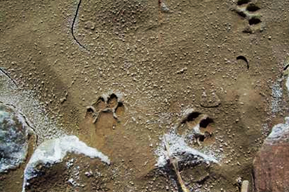 Mountain lion tracks near the Banta Shut-In. Note the lack of claw