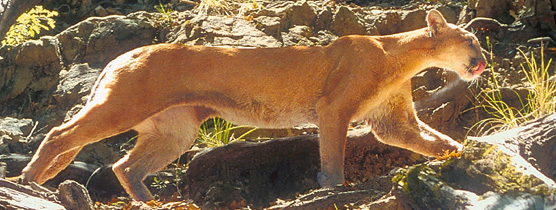 Big Bend Mountain Lion