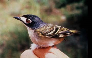Black capped vireo being held by researcher