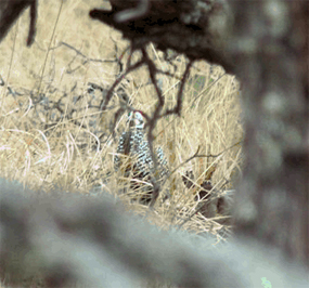 A fleeting glimpse of the Montezuma Quail