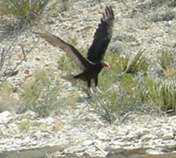 Turkey vulture coming in for a landing