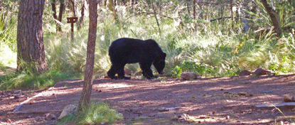 Bear in a Chisos campsite