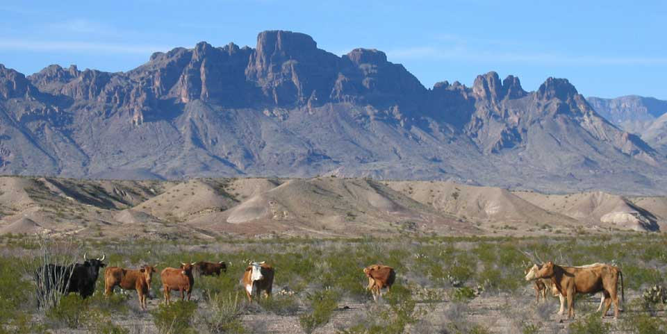 cattle in big bend np