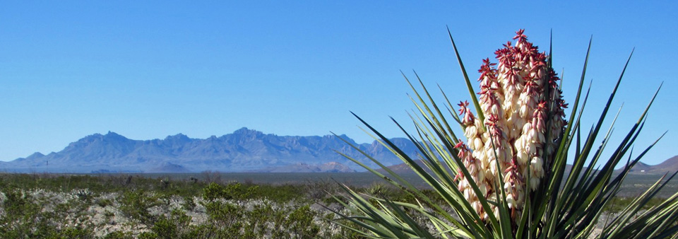 Yuccaa With Chisos Mountains View
