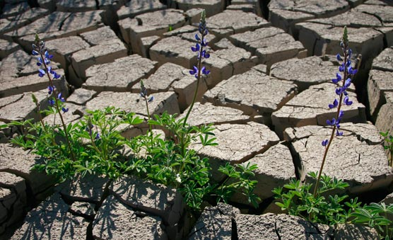 Bluebonnets (lupine family) popping up through mud cracks.