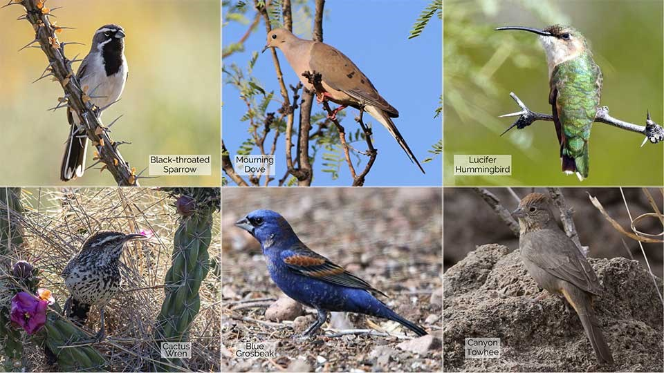 6 small photos of a Black-throated Sparrow, Mourning Dove, Lucifer Hummingbird, Cactus Wren, Blue Grosbeak, and a Canyon Towhee