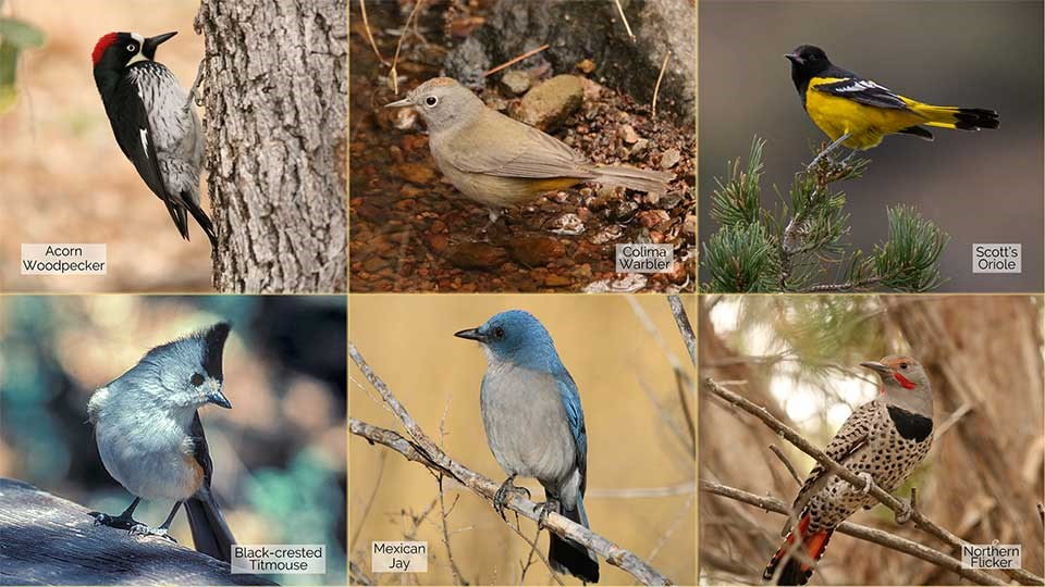 6 small photos of an Acorn Woodpecker, Colima Warbler, Scott's Oriole, Black-crested Titmouse, Mexican Jay, and a Northern Flicker.