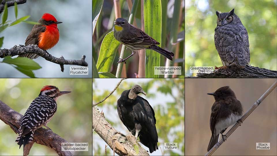 6 small photos of a Vermilion Flycatcher, Yellow-rumped Warbler, Great-horned Owl, Ladder-backed Woodpecker, Black Vulture, and a Black Phoebe
