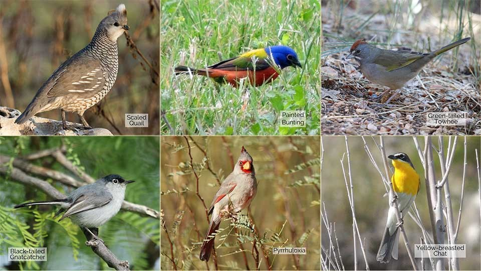 6 small photos of a Scaled Quail, Painted Bunting, Green-tailed Towhee, Black-tailed Gnatcatcher, Pyrrhuloxia, and a Yellow-breasted Chat