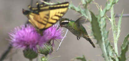 White-eared hummingbird in Boot Canyon, June 2005