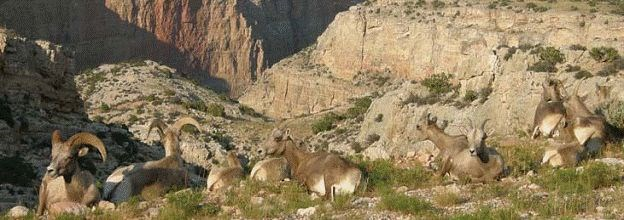 Bighorn Sheep, namesake of Bighorn canyon