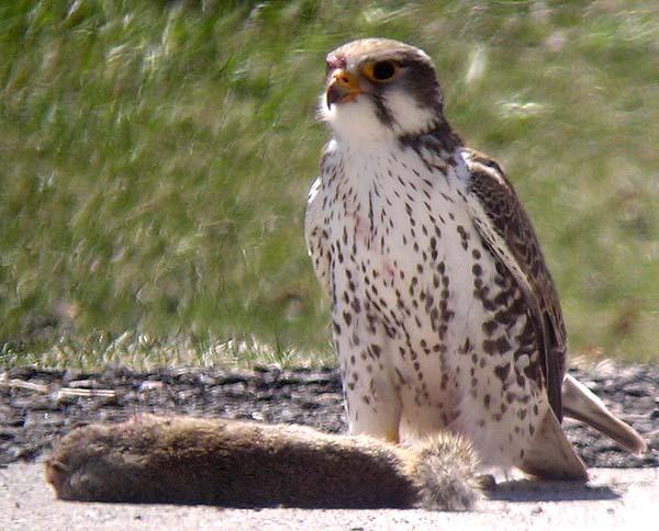 Falconiformes. sub Falconidae - sub fam Falconinae - gênero Falco - Página 2 Prairie_Falcon