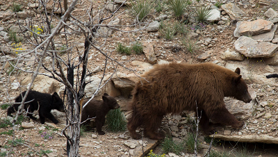 A mother bear and two cubs at Trail Creek