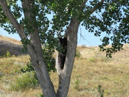 Bear in tree at Afterbay Campground
