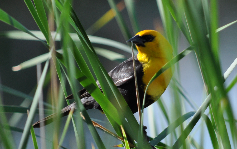 A picture of a small bird with a bright yellow head and neck, partially obscured by grasses.