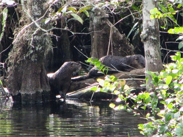 Two river otters forage near the submerged trunks of pond apple trees.