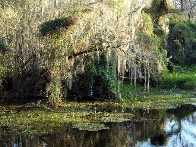 Cypress swamp, 'gator hole, pond surrounded by Spanish moss-draped cypress trees