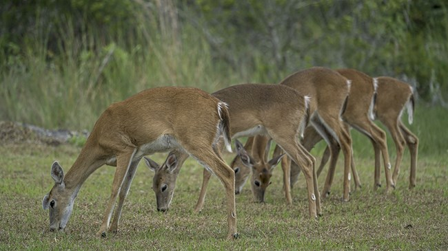 five whitetail deer grazing