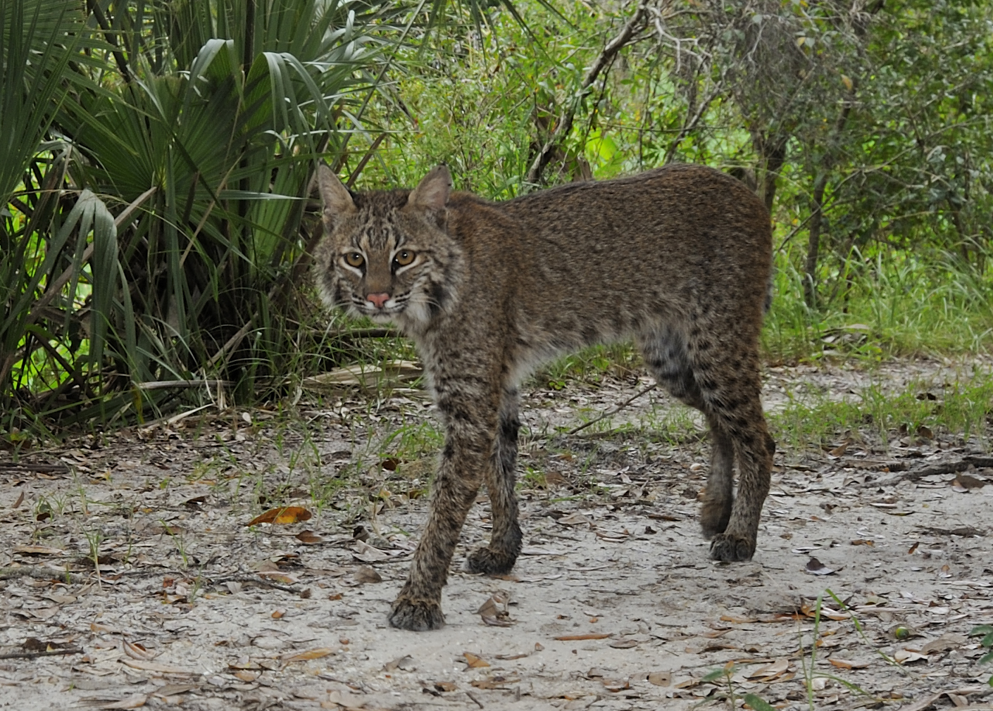 Big Cats Found In Florida