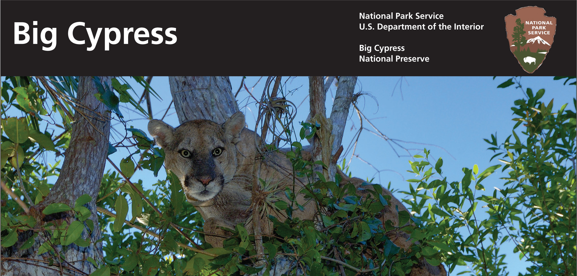 Florida Panther Big Cypress National Preserve U S National Park Service