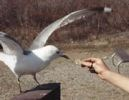 Gull_feed_crop