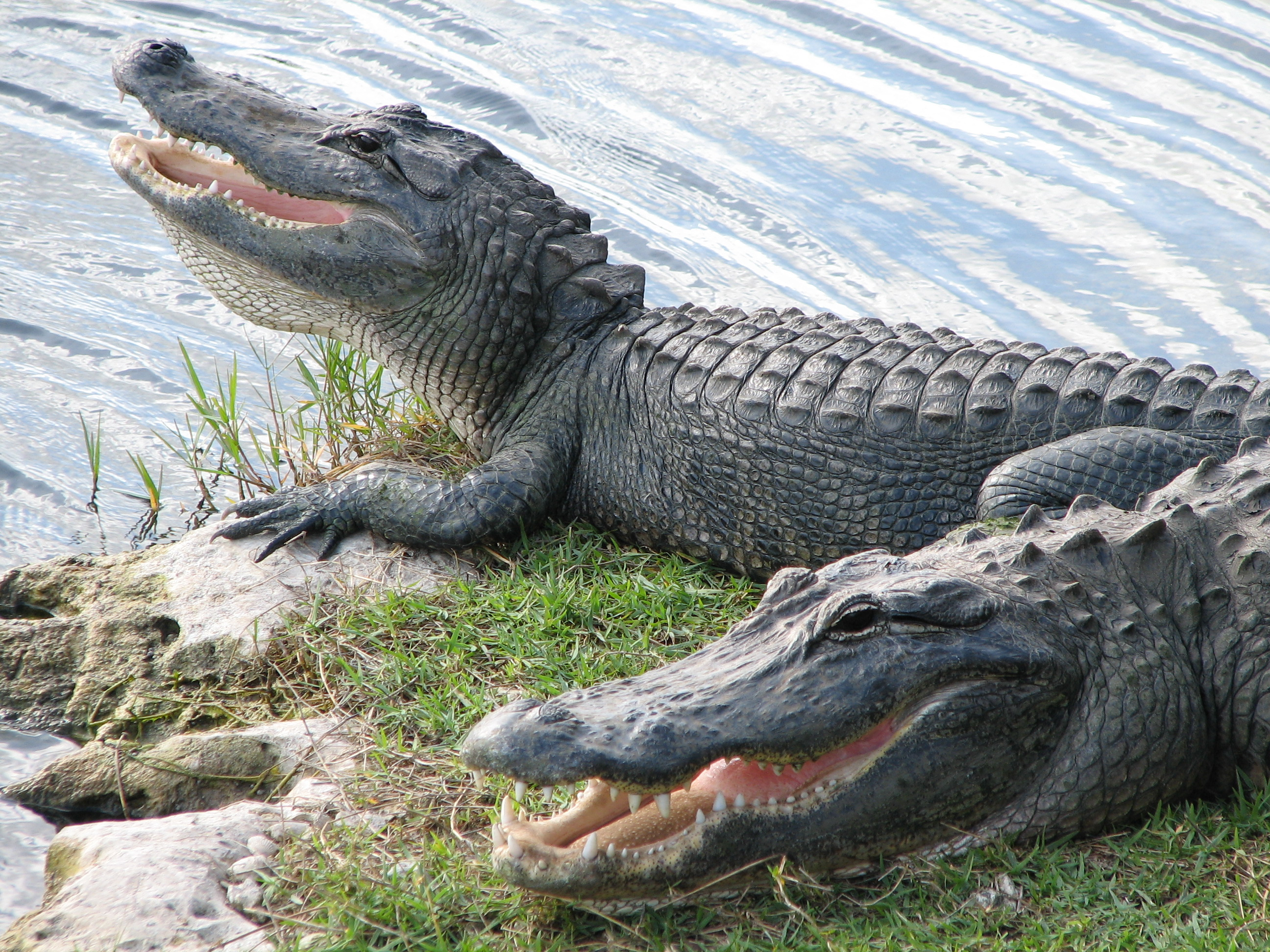 alligators in gulf coast waters