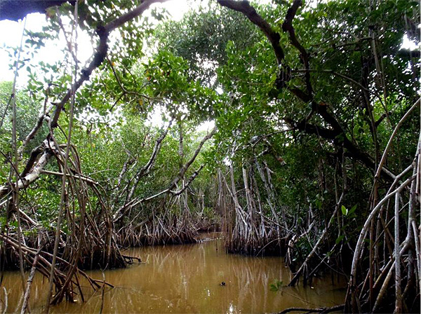 Contest Calendar >> Red Mangrove - Big Cypress National Preserve (U.S. National Park Service)