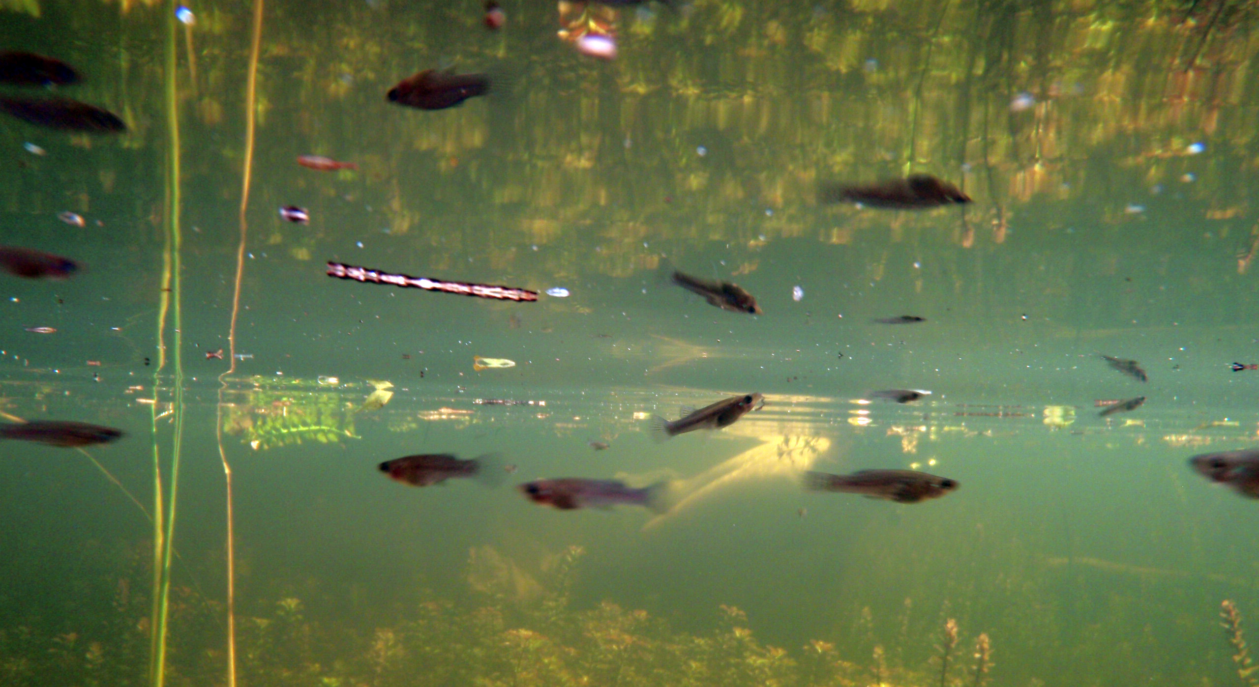 Mosquitofish big cypress national preserve u s for Mosquito fish facts