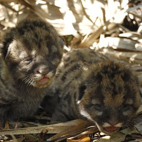Florida Panther Kittens