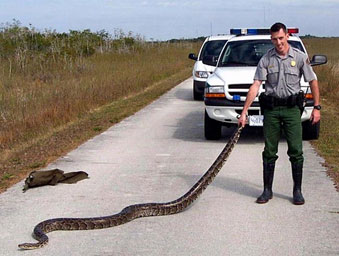 A Burmese python found along the Shark Valley Road in Everglades National Park.