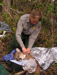 Biologist Deborah Jansen working on a panther in the field.