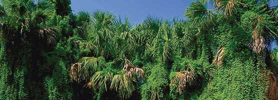 Lygodium, old-world climbing fern, destroys natural Florida habitats.