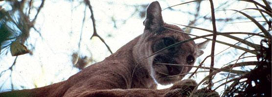 With human population increasing and available habitat for panthers decreasing, sightings of cats have increased.