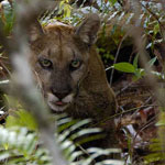 Big Cypress National Preserve makes up a majority of the Florida panther's primary habitat.
