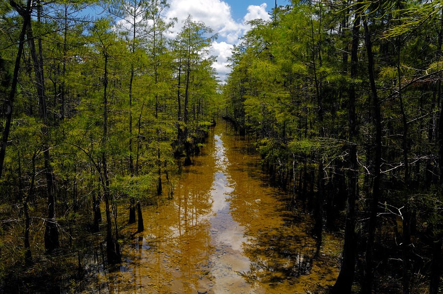 A submerged trail leads through a strand of cypress.