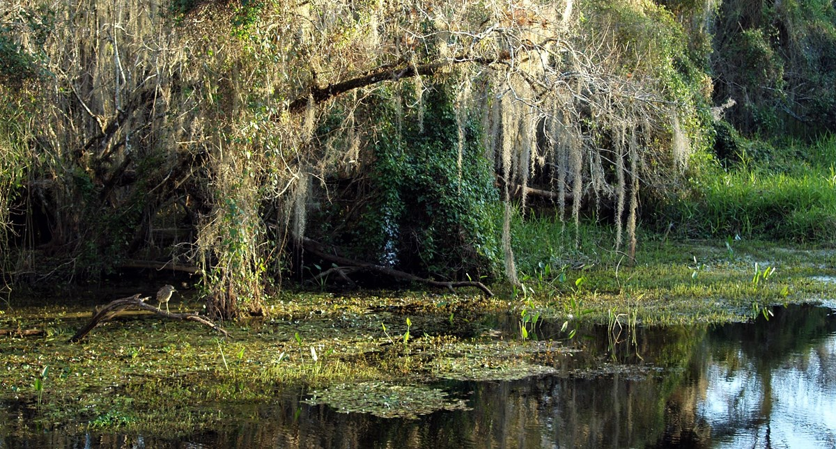 A bird on a branch watches for fish in a 'gator hole pond surrounded by Spanish moss-draped cypress trees