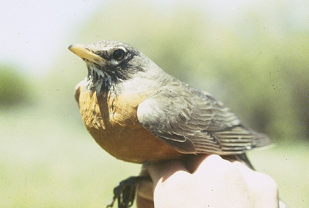 An American Robin resting on a person's hand.
