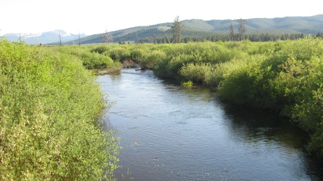 A river surrounded by willows on both sides.