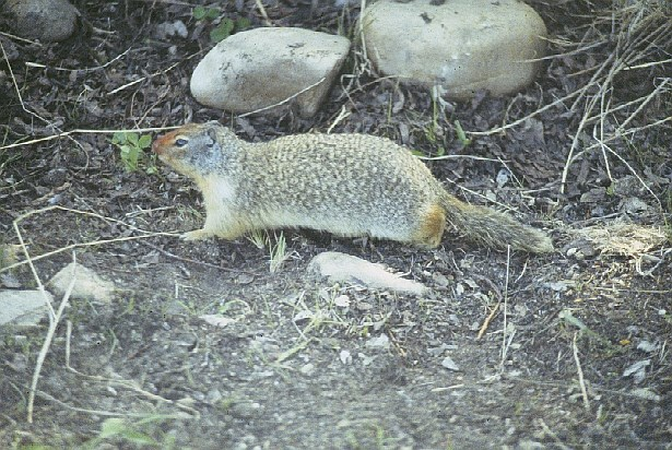 A columbian ground squirrel surrounded by rocks and twigs.