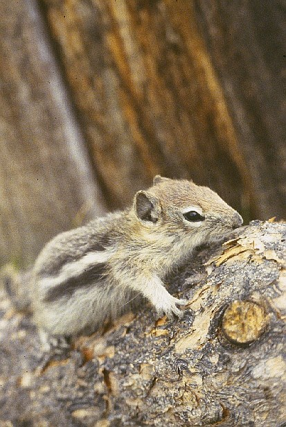 Yellow pine chipmunk climbing a tree branch.