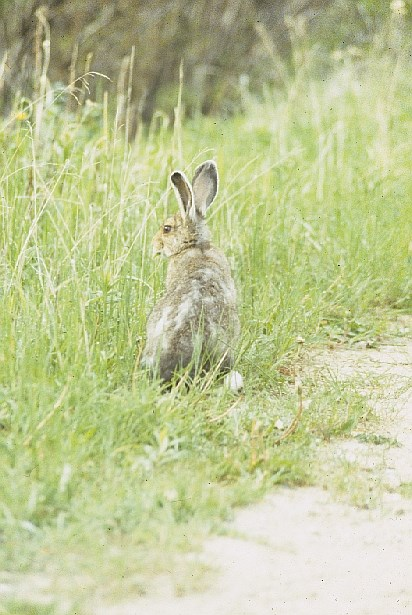 A Snowshoe Hare sitting on the side of a trail with tall grasses in the background.